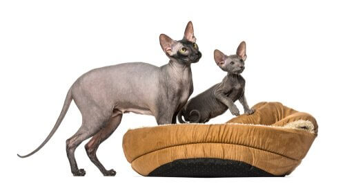 gato peterbald cuidados