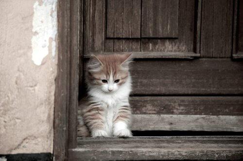 Gato Cymric, com pelos longos e sem cauda