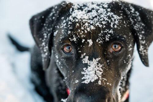 Hipotermia em cães