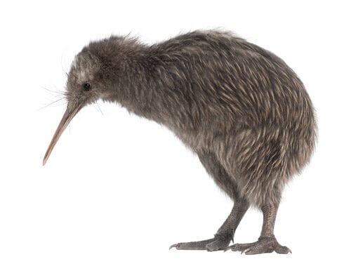 kiwi, pássaro que não voa