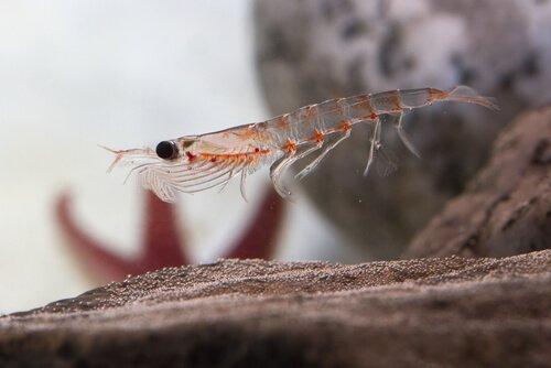O krill antártico