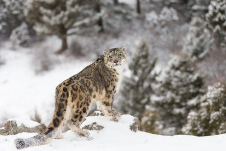Leopardo-das-neves: características, comportamento e habitat