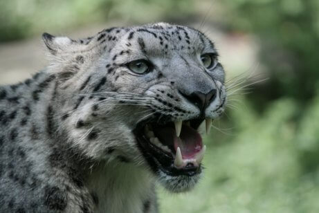 Comportamento do leopardo da neve