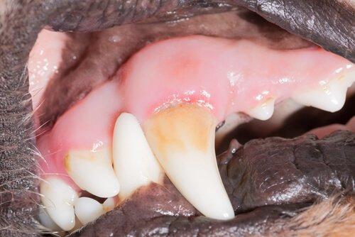 Dentes caninos