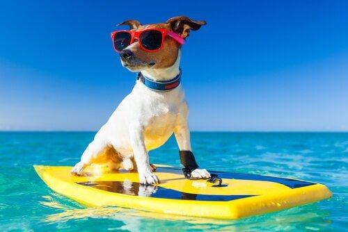 Cachorro de óculos escuros em prancha de surf