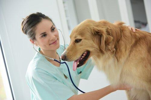 Megaesôfago em cães: sintomas e tratamento