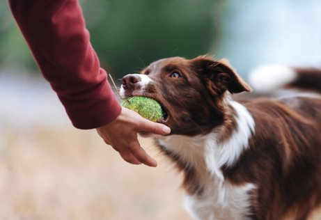 Cão possessivo com brinquedos: como evitar