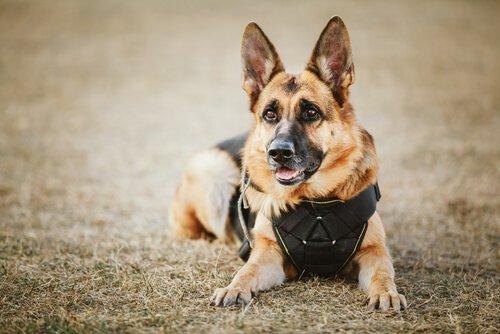Nomes para cães policiais