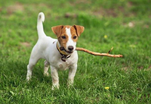 Nomes para cães de pelos curtos
