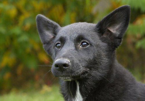 Características do cão de Canaã