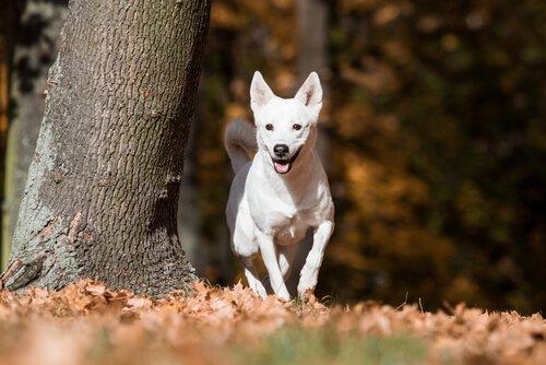 O cão de Canaã, selvagem por muitas gerações