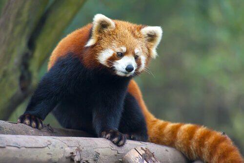 animais da china panda vermelho