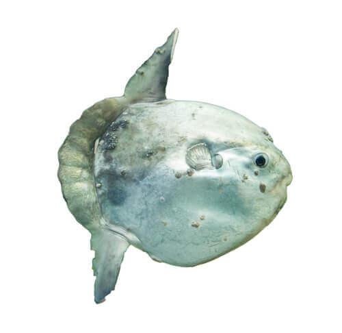 peixe lua