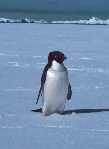 Pinguim Adelaide