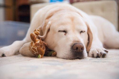 Problemas para dormir do seu animal de estimação