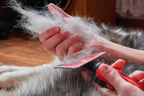 O rasqueado é uma escovação profunda que afeta as duas camadas de pelos e  que ajuda a se livrar de toda a pelagem morta que sobrou. 04f2fbd32446