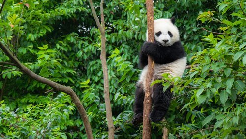animais da china Urso Panda