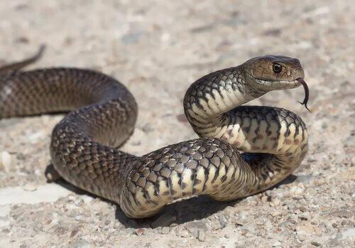 Cobras na cultura popular: mitos e símbolos
