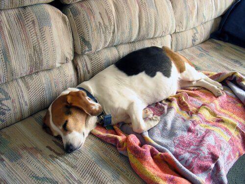 O sono dos cães idosos