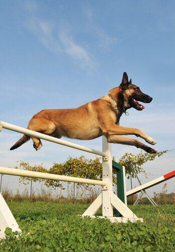 Cachorro saltando obstáculo