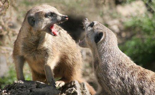 É uma boa ideia ter um suricato de estimação?