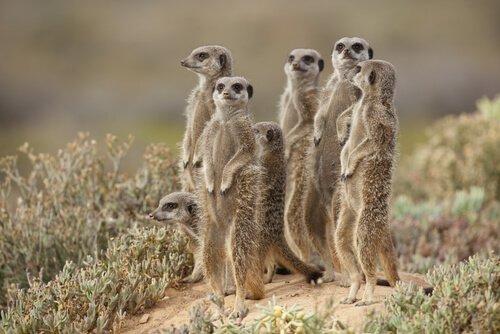É uma boa ideia ter um suricato como animal de estimação?