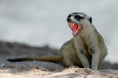 suricato de estimação