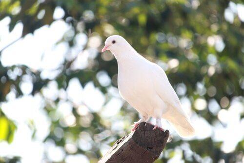 espécies de pombos