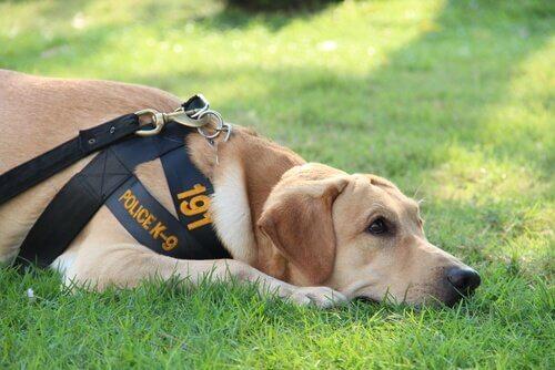 A vida de um cão policial