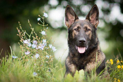 O treinamento do pastor alemão, um cachorro incrível