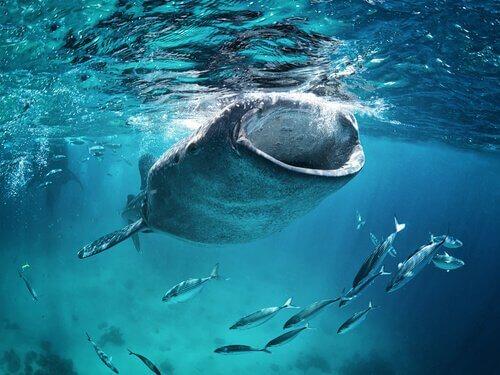 Alimentação do tubarão-baleia