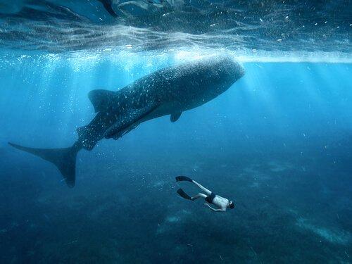 Tubarão-baleia: características, dieta e habitat