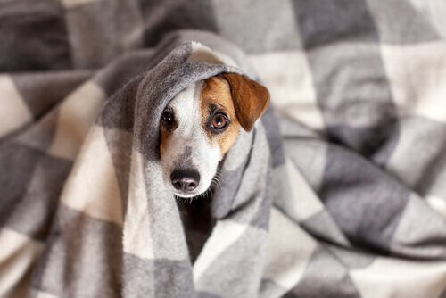 tumores contagiosos em cães