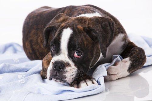 Existem tumores contagiosos em cães?