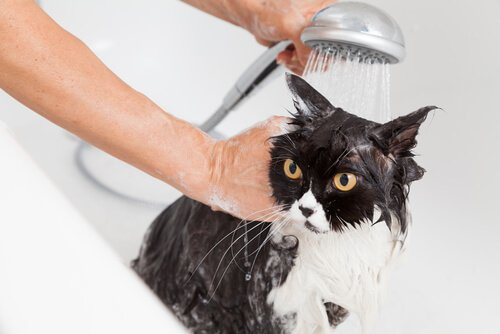 Gato tomando banho