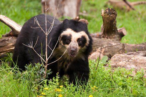Urso andino: parece estar usando óculos