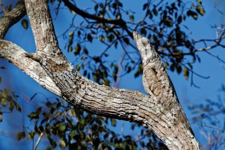 Camuflagem do urutau-grande