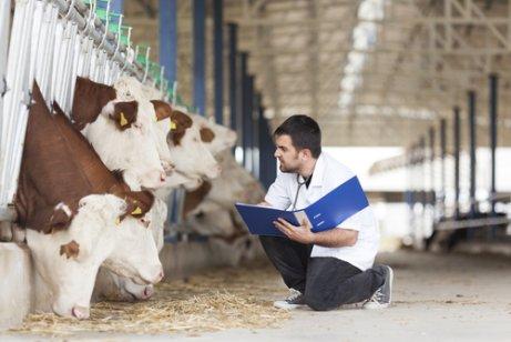Deslocamento de abomaso no gado: saiba mais aqui!