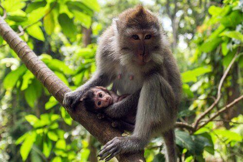 Macaca fascicularis: características, comportamento e habitat
