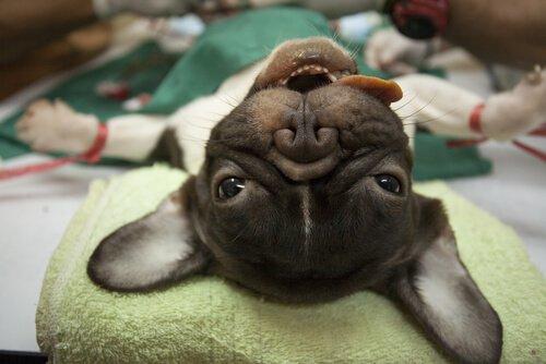 cão anestesiado