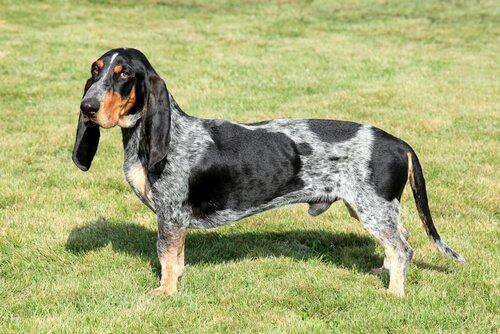 5 raças de cães rastreadores