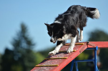 Brincadeiras com o border collie