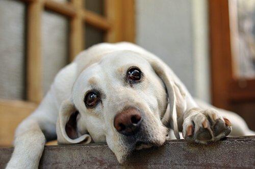Por que seu cão chora quando você sai?