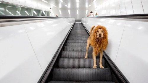 Cachorro com juba de leão