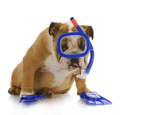 Como ensinar seu cão a mergulhar