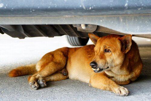 cão debaixo do carro
