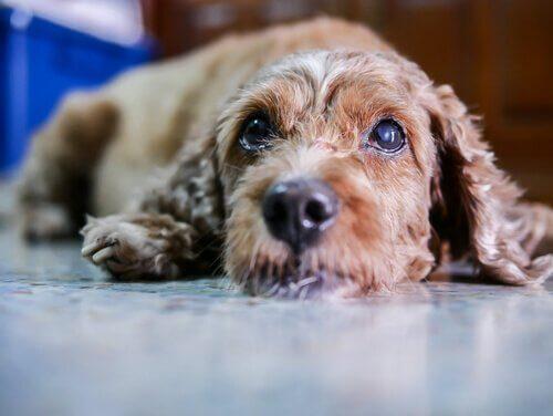 Tratamentos e sintomas de catarata nos cães