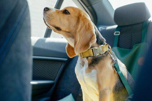 cão dentro do carro com coleira