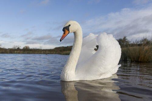 Curiosidades sobre o cisne, um animal elegante