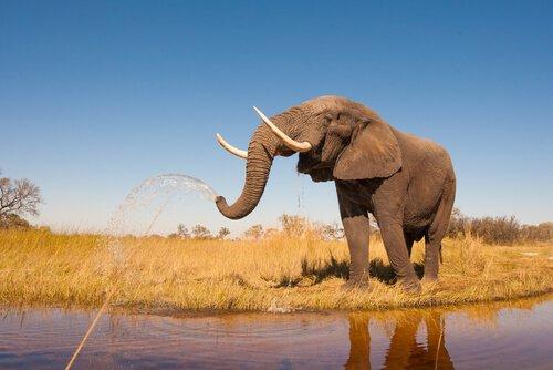 Elefante jorrando água pela tromba